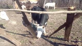 Коровы первый раз увидели солнце и травку)) коровы на пастбище)) поломали загон)) первый выгул.