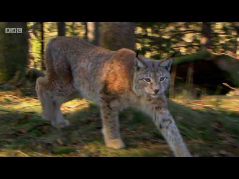 Rewilding the UK with Lynx