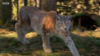 Rewilding the UK with Lynx