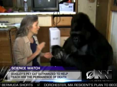 Vědci naučili gorilu, že jednoho dne zemře