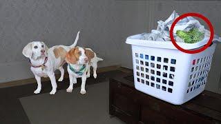 Hiding My Dogs' Favorite Foods! Broccoli & Bacon Treasure Hunt Challenge w/Cute Dogs Maymo & Potpie