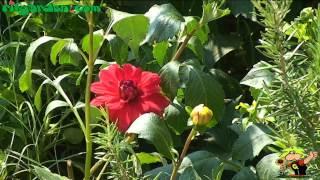 Maintaining Bulbous Plants