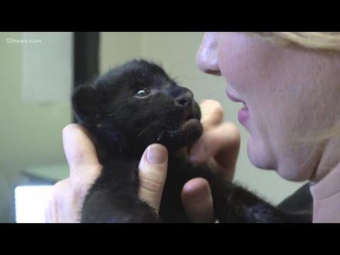 Jaguar at Wildlife World Zoo gives birth to healthy baby cub