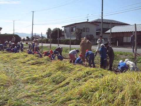 真城小学校わんぱく田伝教室(稲刈り)2