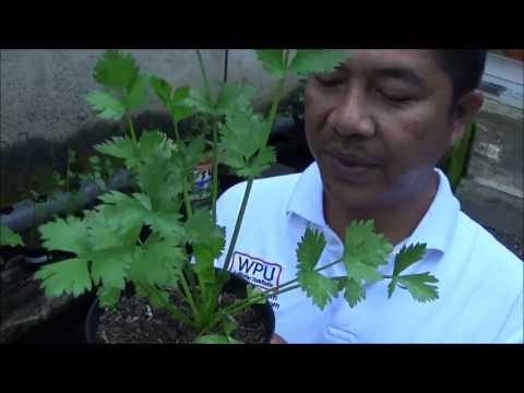 Video Budidaya Seledri Organik dalam Pot di Atas Kolam Ikan Samping Rumah