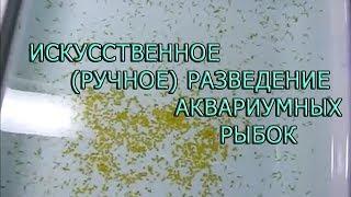 Искусственное  (РУЧНОЕ) разведение аквариумных рыбок (смотреть до конца)
