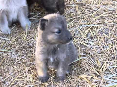 GORGEOUS WOLF DOG PUPPIES