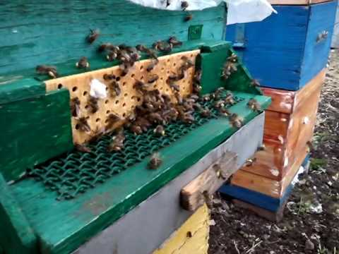 Пчеловодство| Сбор первой пыльцы 10.04.2017