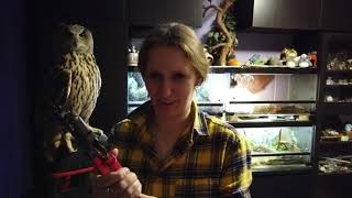 Eagle owl Yollka changes jess. Nobody got hurt.