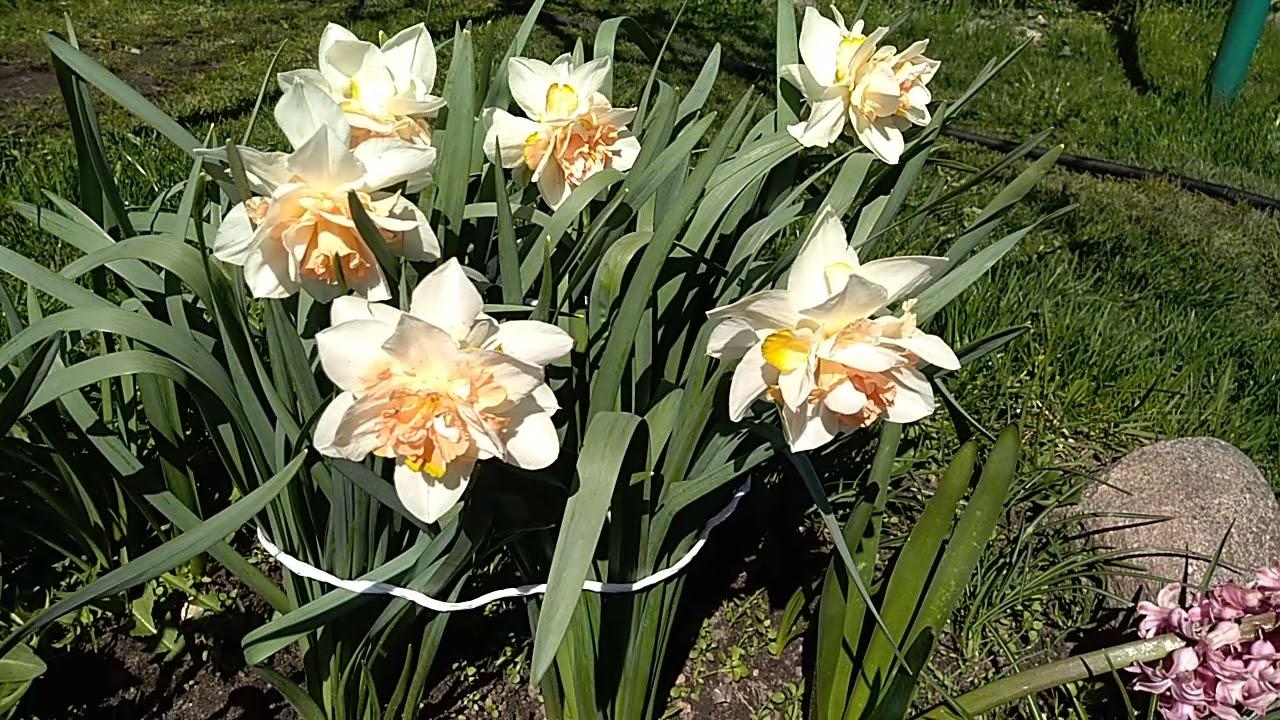 Нарцисс replite махровый