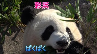 お食事彩浜 Giant panda.Name is Saihin(彩浜/Cai Bang).