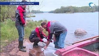 В демянское озеро Вильё выпустили 150 тысяч мальков щуки