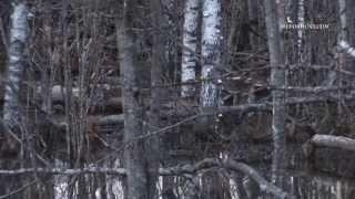 Смотреть онлайн Охота на бобра: что важно знать