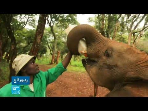 العرب اليوم - شاهد: فيلة أفريقيا الوسطى مهددة بالاختفاء كليا من الكوكب خلال عشر سنوات