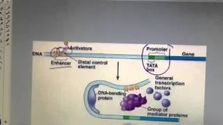 Gene Regulation - Enhancers and Activators