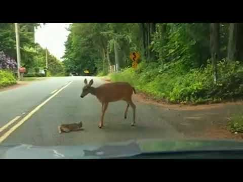 Mama deer helps baby deer