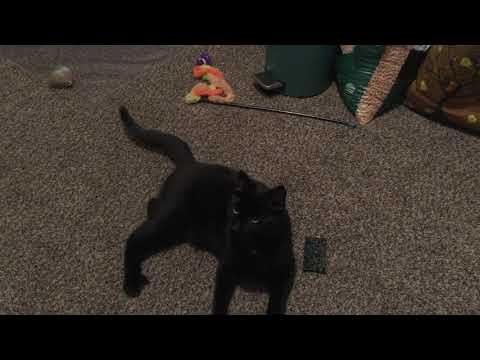 Vero, an adoptable Domestic Short Hair Mix in Springfield, OR
