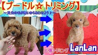 【動画】プードルトリミング☆足先に毛が無くても大丈夫♪静かな戦い(笑)