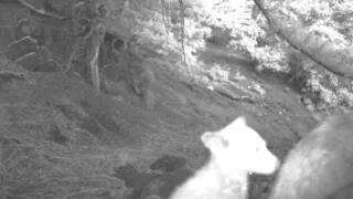 Bear cub noises
