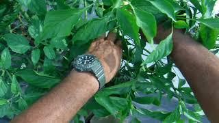 「今日もあなたと百姓一揆!」~旬の有機野菜収穫@バナナピーマン収穫