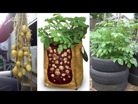 , title : '8 Ways to Grow Tons of Potatoes No Matter Where You Live