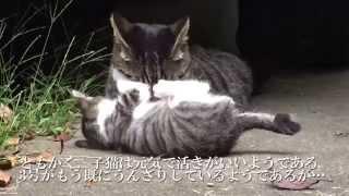 【キジトラ地獄】奔放過ぎる母猫、珍しく子猫のお守りをする The Mother Brown Tabby And Her Kitten