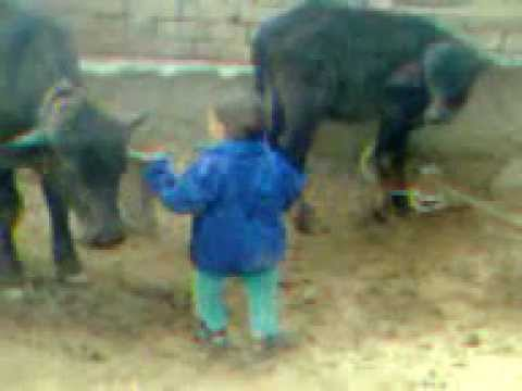 2year old Child fight Cow 2