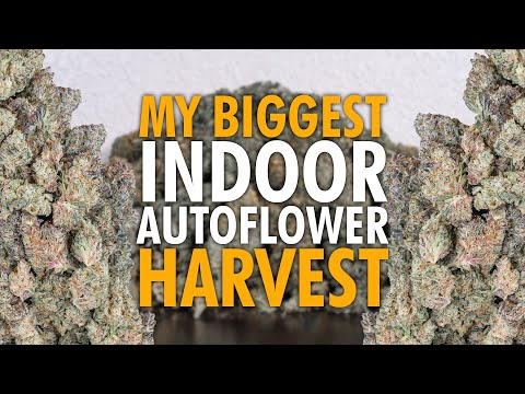Harvesting My Biggest Autoflower Grow Ever + Testing THC