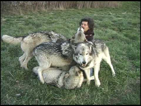 Plays With Wolves - A Fearless Photographer!