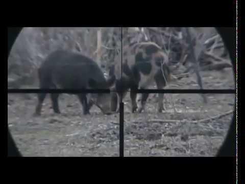 Azılı Domuz Avı (Great shot and pig hunt)...!!! Pig vs Wild boar. Hunting Perfect Shot