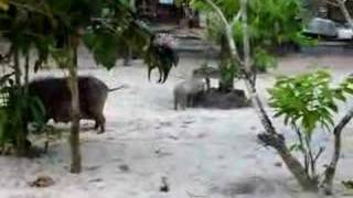 preview picture of video 'Pigs at Lalomanu, Samoa'