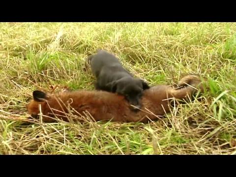 Psí pomoc při honu na lišky