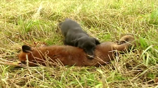Fox hunting with terriers   Fox digging and predator control - Ultimate Hunting