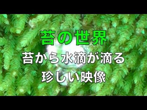 苔の隙間から水滴が滴り産卵みたいな珍しい映像(コケと水の癒しの世界)