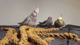 Baby cockatiel begging for food. Dad shows him how to eat by himself 😊