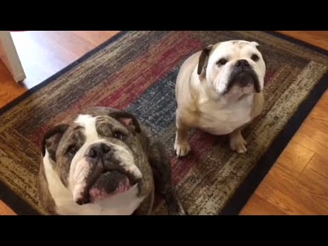 Bulldog Has Hysterical Reaction To Being Serenaded