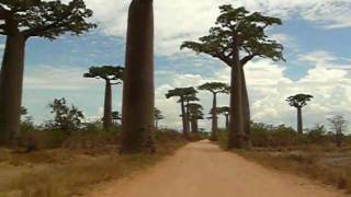 preview picture of video 'Madagascar avenue of the giant Baobab trees'