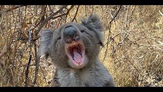 Koala Call
