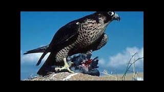 Aves Rapaces Halcon Peregrino Aguila Real Documental en Español