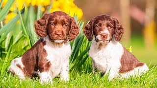 ENGLISH SPRINGER SPANIEL PUPPIES FROM 2 TO 8 WEEKS