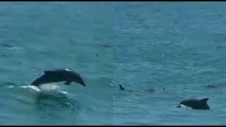 Delfines son captados jugando en el mar de La Herradura durante cuarentena