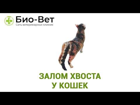 Залом хвоста у кошек. Ветеринарная клиника Био-Вет.