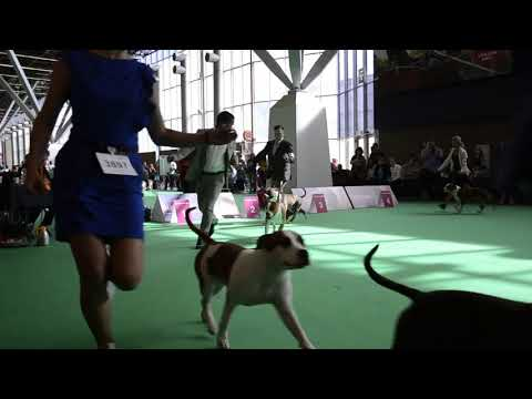 first group wds 2018 amstaff middle class