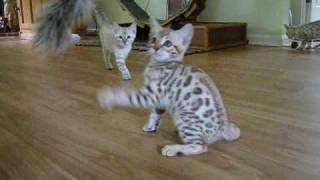 Snow Bengal kitten magic!