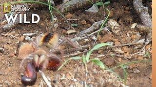 Camel Spider Captures, Kills Millipede at 'Warp Speed' | Nat Geo Wild