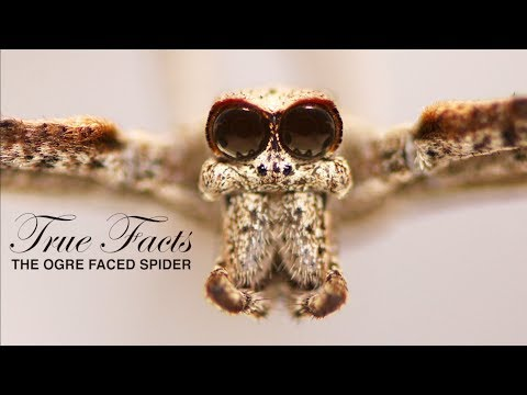 True Facts About the Ogre-Faced Spider