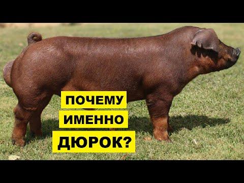 , title : 'Свиньи Дюрок уход разведение и особенности породы | Свиноводство