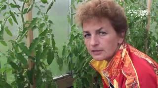 Как обезать пасынки и листья томатов видео