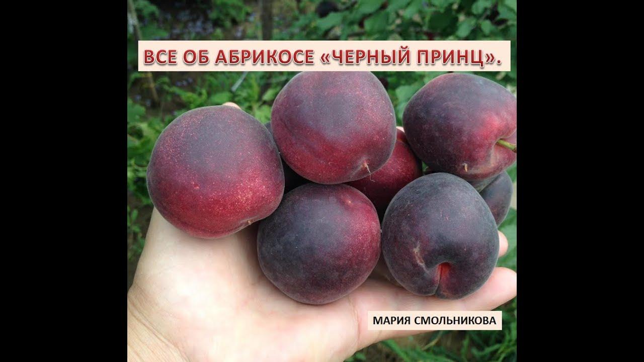 Все об абрикосе Черный принц.
