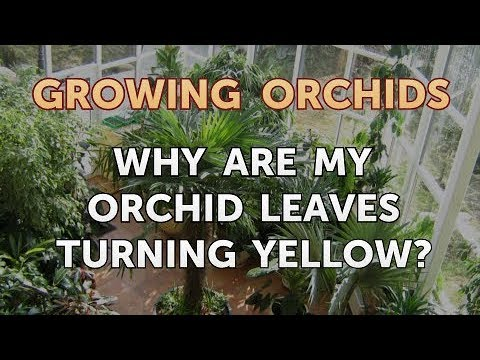 , title : 'Why Are My Orchid Leaves Turning Yellow?